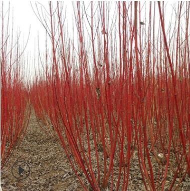批发红瑞木绿化苗 观赏价值高 庭院工程 耐寒植物 园林绿化植物