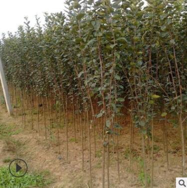 木瓜海棠树苗 园林绿化庭院种植行道苗 基地直销木瓜海棠批发