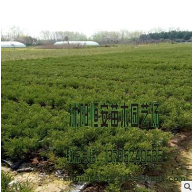 大量批发供应批发桧柏、北京桧柏 园林观赏 刺松刺柏 品种齐全