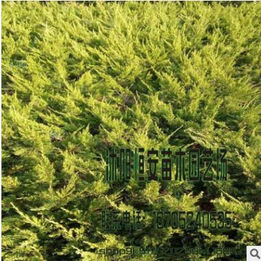 大量批发供应 沙地柏 绿化工程灌木 品种齐全 量多价格优惠
