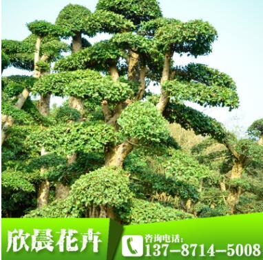 造型女贞树 规格齐全乔木类造型园林植物
