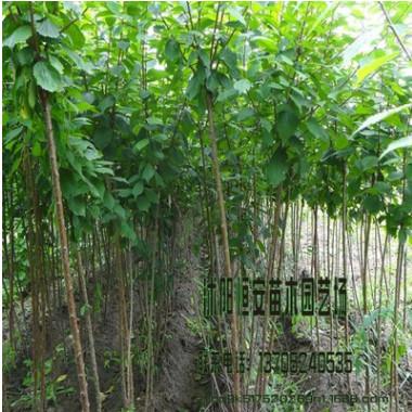 苗圃批发榆叶梅树绿化工程 丛生树行道树 独杆 庭院美化品种全