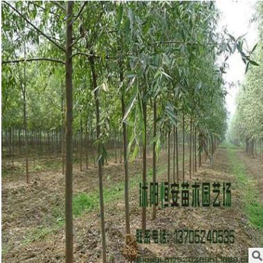 苗圃直销竹柳树价格 绿化工程 竹柳树销售 竹柳行道树 1-20cm