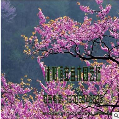 苗圃批发独杆紫荆 紫荆树 巨紫荆小苗品种齐全巨紫荆 紫荆树苗