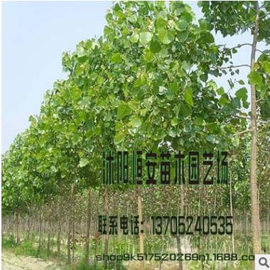 销售批发速生杨树绿化工程 速生杨树 行道风景树 白杨树绿化