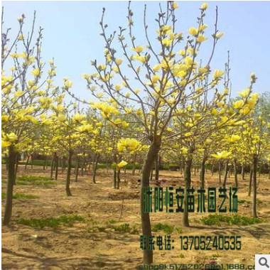 大量供应批发玉兰 广、白 、黄 、红 、紫 品种规格齐全 绿化工程