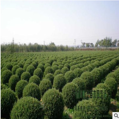 苗圃直销批发塔松球 塔柏球绿化 品种规格齐全 量大优惠