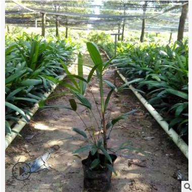 厂家直销棕竹小袋苗高50-60cm绿植地被耐阴苗木大叶棕竹