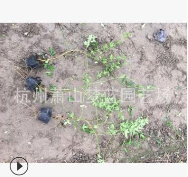黄馨 袋苗 小杯 长度30-80 品种 规格 齐全 萧山 园林 绿化 工程