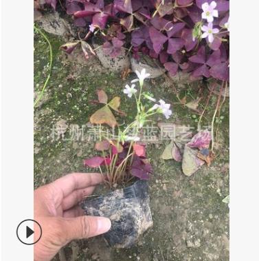 紫叶炸酱草 杯苗 袋苗品种 规格 齐全 优质 精品苗