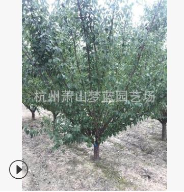 红梅 品种 规格 齐全 道路 行道树 景观 园林 绿化 工程