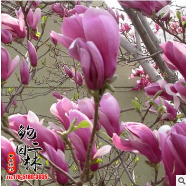 基地批发优质紫玉兰树苗 广玉兰白玉兰行道规格齐全成活率高