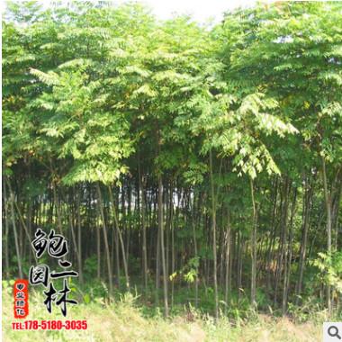 基地批发销售七叶树 供应优质工程绿化苗木七叶枫量大从优