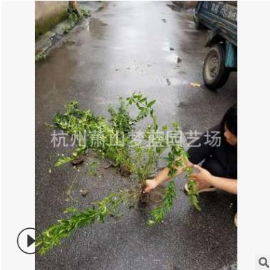 云南黄馨 黄馨小毛球 色块 毛球 地被 灌木 乔木类 优质 精品苗