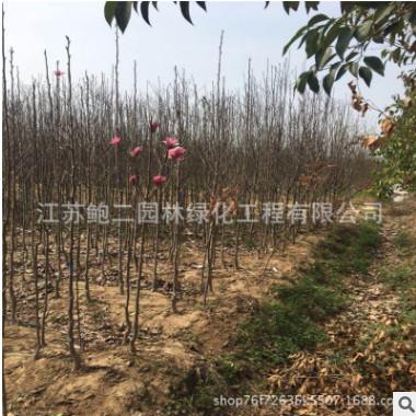 基地供应行道树绿化苗木娇红玉兰 广玉兰 品种规格全 价格优惠