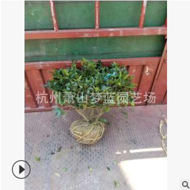 茶梅球 各种球类 乔木 树木 园林 绿化工程苗