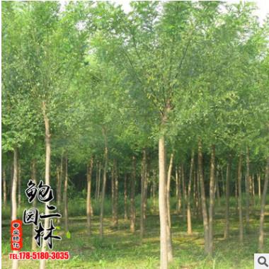 基地直销榆树苗 优质榆树批发 园林绿化工程苗木 规格齐全