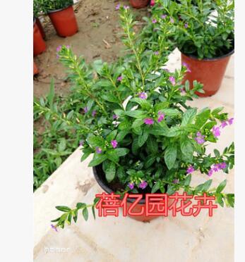 批发室内绿植花卉盆栽 草本植物满天星花苗 盆栽 满天星带花苞