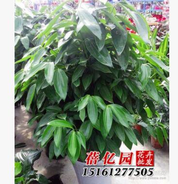 批发绿宝平安树 幸福树 室内客厅大型植物盆景栽 吸甲醛