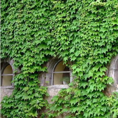 爬墙虎 爬山虎苗 五叶地锦苗 三叶地锦苗 墙的绿装 爬墙高手