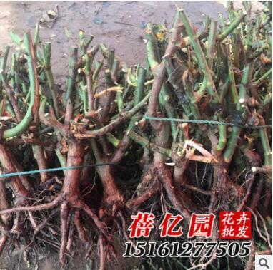 批发玫瑰月季蔷薇花苗/大苗裸根老桩苗/鲜切花种根 包成活