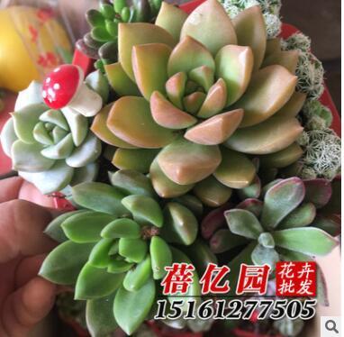 多肉植物 多肉组合盆栽 每盆7-8棵