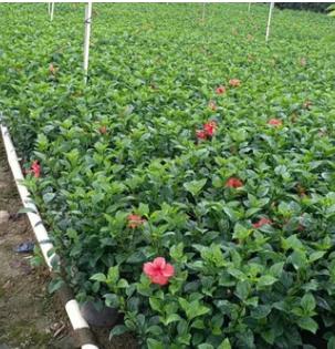 苗圃直销 大红花