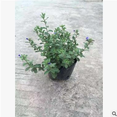 盆栽蓝雪花 全年开花盆栽易种植植物蓝雪花