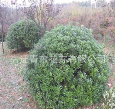 海桐球苗绿化苗木色块绿篱四季常青庭院种植量大从优海桐球苗直销