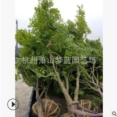 鸡爪槭 1-20公分都 规格 品种 齐全 乔木 灌木 精品苗 萧山苗圃销