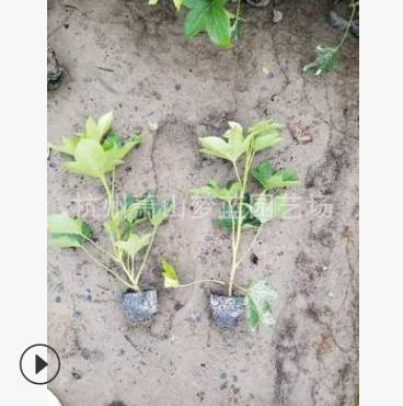 熊掌木 20-40高度 优质苗 根系旺 成活率高 地被 灌木 色块类 乔