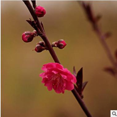 厂家直销红梅苗 耐寒梅花树苗 路边观赏花型植物 红梅小苗 造型树