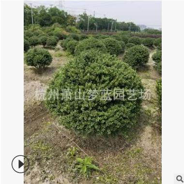 龟甲冬青球 30-200公分 园林 苗圃 树木 绿化工程用苗 萧山直销