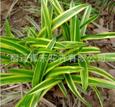 金边麦冬四季常青耐践踏色块绿篱行道点缀量大从优金边麦冬苗直销