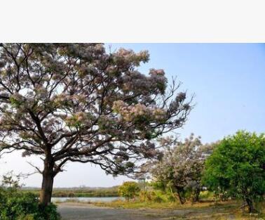苦楝 苦楝树 苦楝工程绿化树