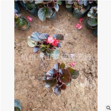 四季海棠 高度5-25公分 都有 品种 规格 齐全 成活率高 精品 优质