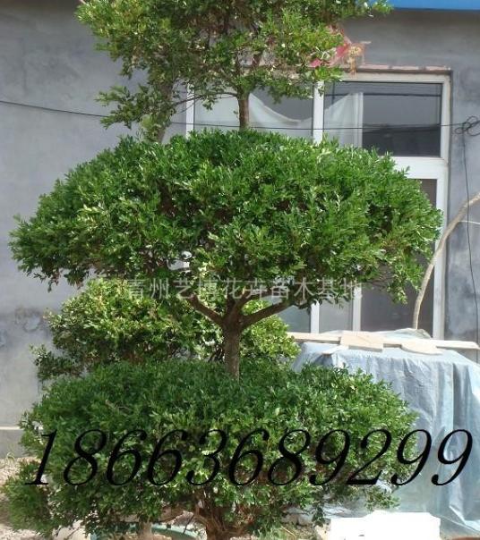 黄杨球,黄杨树,低价出售