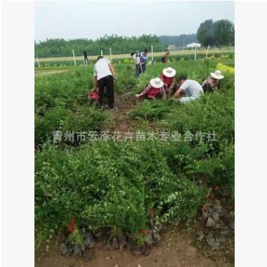 青州苗圃出售梅花、迎春花、迎春梅小苗杯苗盆栽苗 梅花苗木花卉
