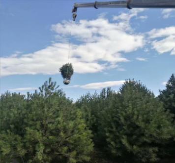 西安基地直销2~3米白皮松树苗 树形饱满 规格齐全 占地苗 精品苗