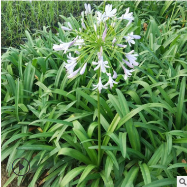 花厂直销小盆栽百子莲 批发各种蓝花的花卉带土发货