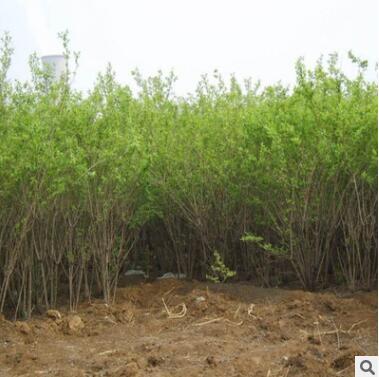 基地供应 优质金银木 货源充足 量大优惠 绿化苗木