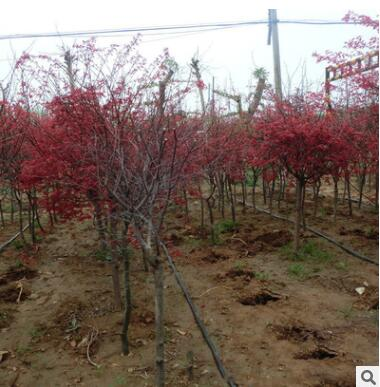 基地直销 出售嫁接日本红枫 又名黄金枫 彩色叶红枫落叶乔木