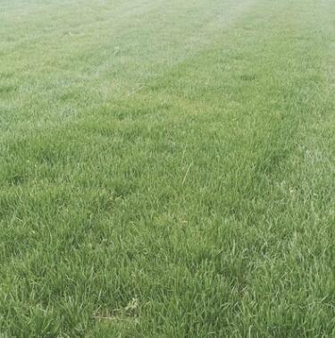 百慕大 台湾草坪 天然人工密度高耐践踏 草坪草皮