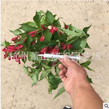 锦带花 小毛球 品种 规格 齐全 优质 精品苗 萧山 园林 绿化 工程
