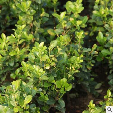 供应大小叶扶芳藤绿化苗木、庭院常见的覆盖植物
