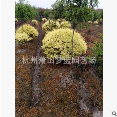 金禾女贞球 冠幅80-1.2米 造型好 土球好 精品苗 萧山 园林 绿化