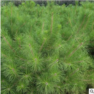 耐寒耐寒油松苗 常绿油松小苗 工程绿化油松苗 规格齐全易成活¥