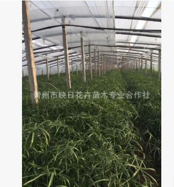 青州水生植物批发 盆栽旱伞草 水竹 风车草 改善水质 河道绿化