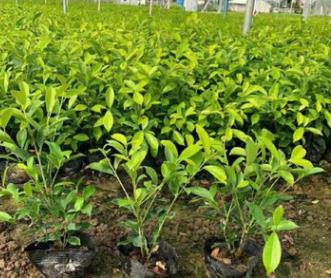 花圃批发优质绿植黄榕高25-30厘米盆栽地径工程苗黄金榕