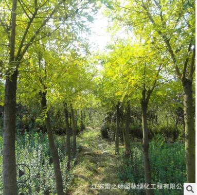 青桐树苗 梧桐树 工程绿化苗木 庭院种植
